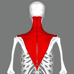 背中にある僧帽筋という筋肉の画像